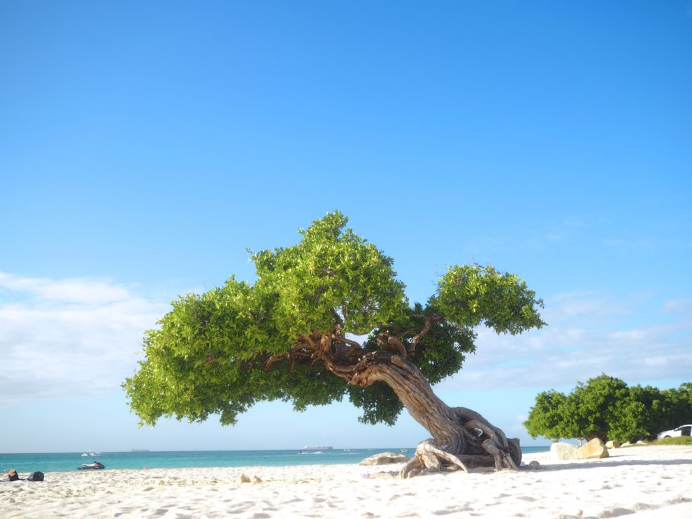 OP VAKANTIE NAAR ARUBA IN DE WINTER Eagle Beach Fototi tree