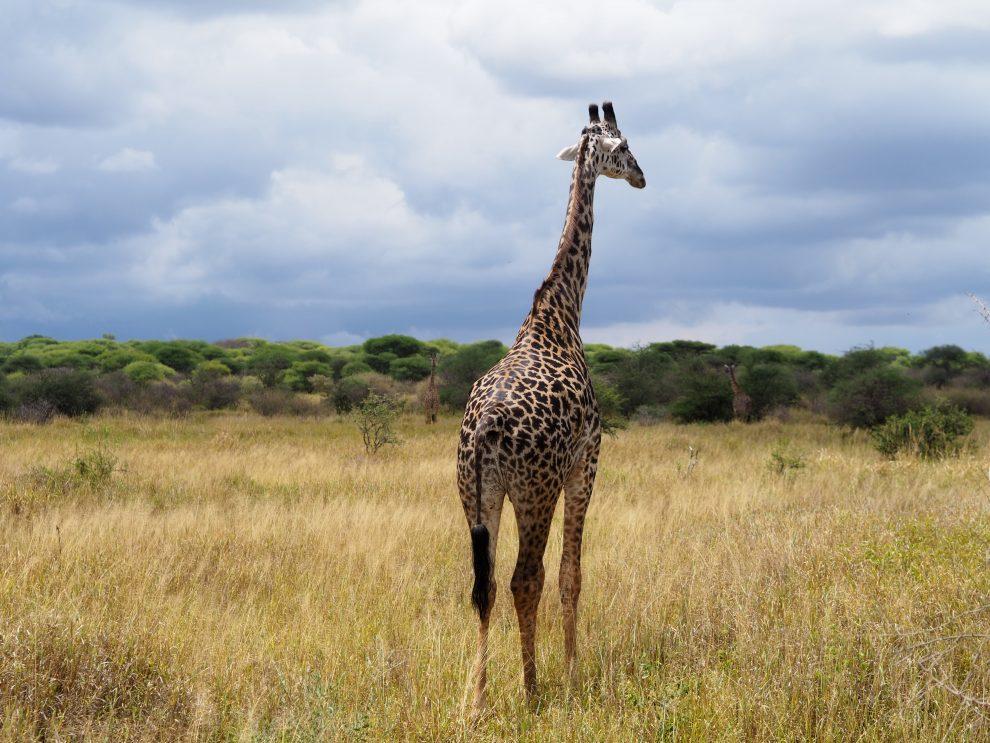 Safari rondreis door Tanzania. National Park National Park Tarangire. Makasa Safari. Een safari boeken in het laagseizoen