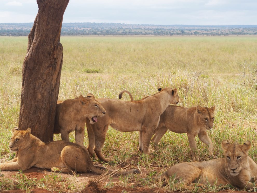 Safari rondreis door Tanzania. National Park Tarangire. Makasa Safari. Een safari boeken in het laagseizoen