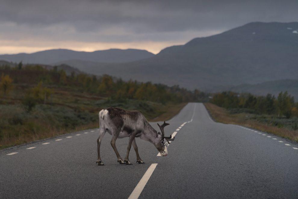 Vakantie in de wildernis van Zweden- Rendieren op Stekkenjokk - Vildmarksvägen, Wilderness Road Zweden, op vakantie in Jamtland.