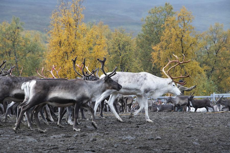 Vakantie in de wildernis van Zweden - Rendieren op Stekkenjokk - Vildmarksvägen, Wilderness Road Zweden, op vakantie in Jamtland.