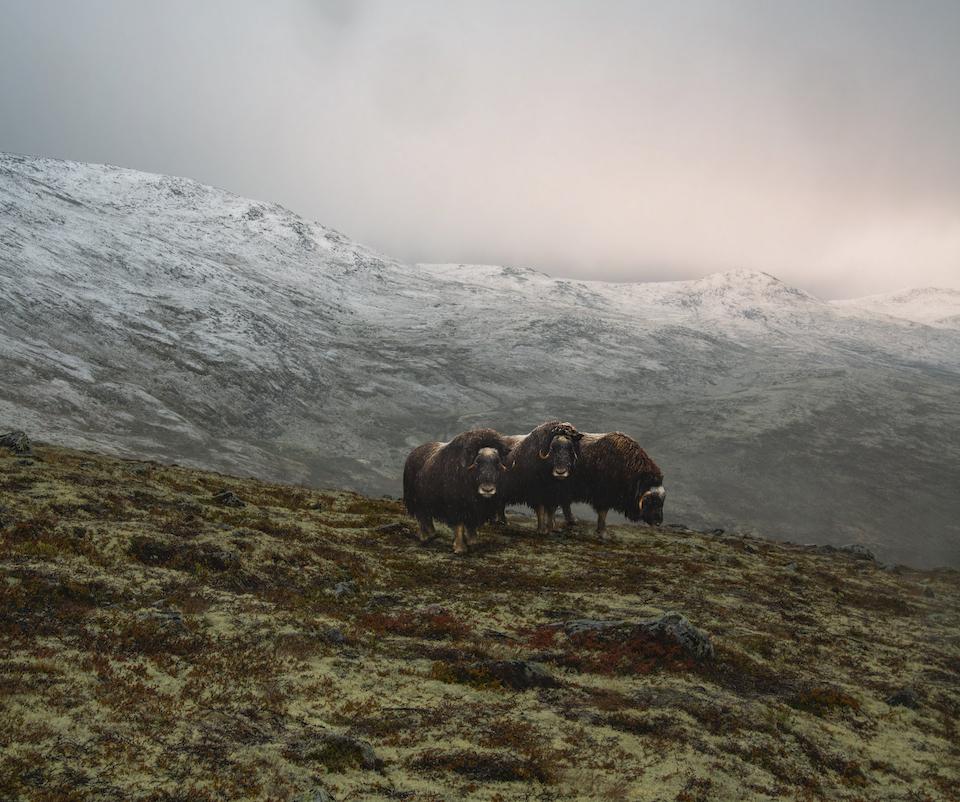 Rondreis door Midden Noorwegen Dovrefjell National park - Snohetta viewpoint - musk ox safari
