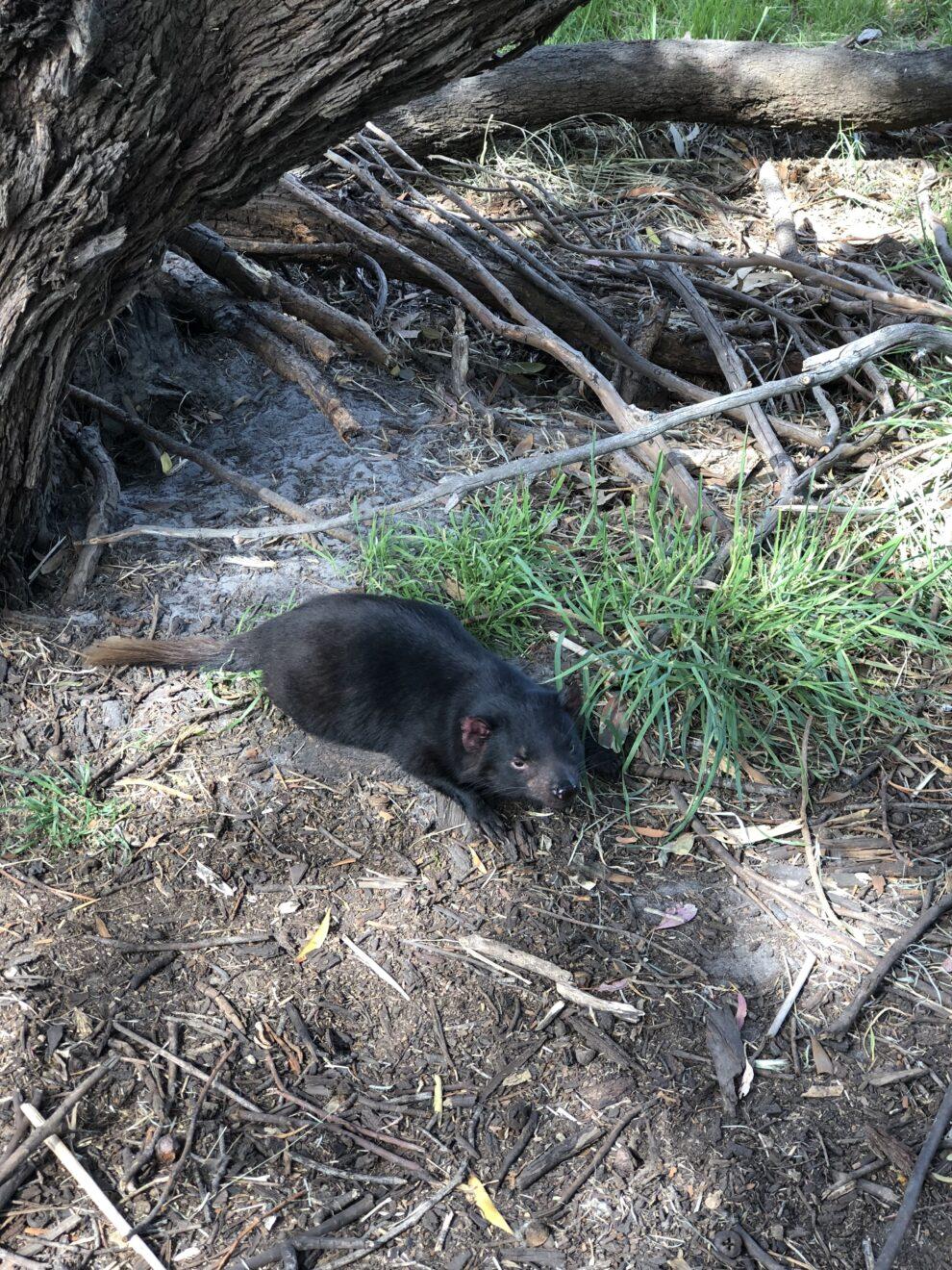 De Tasmaanse duivel zien tijdens een rondreis Tasmanië Bonorong Wildlife Sanctuary Tasmanië