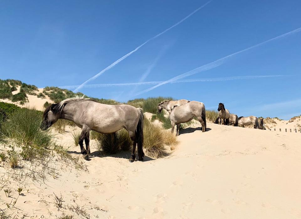 kuddes Konikspaarden Bloemendaal aan Zee