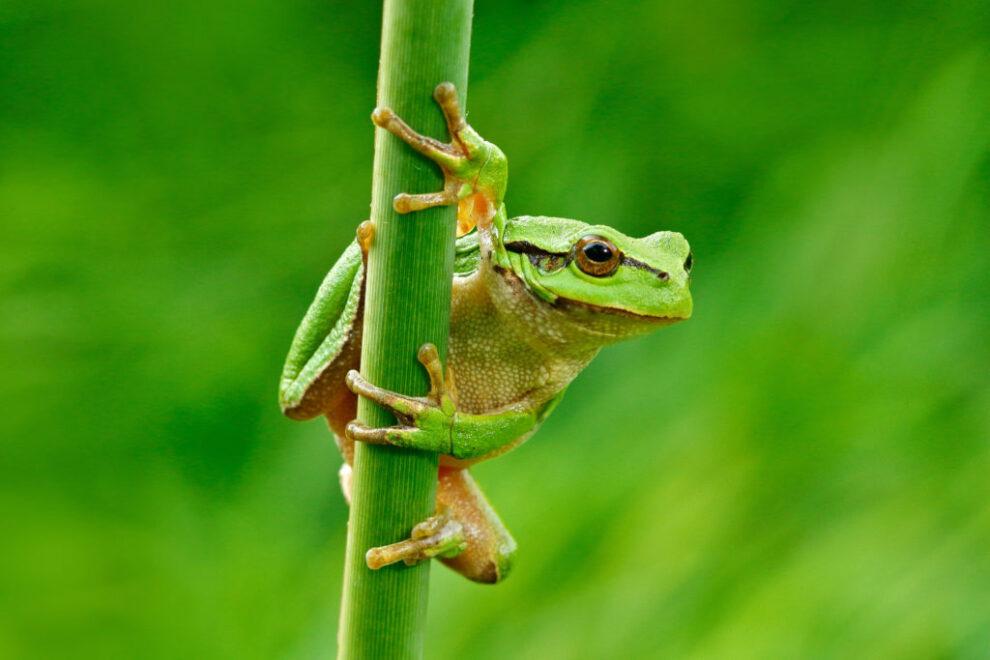 De Kambo kikker ©ondrejprosicky - stock.adobe.com