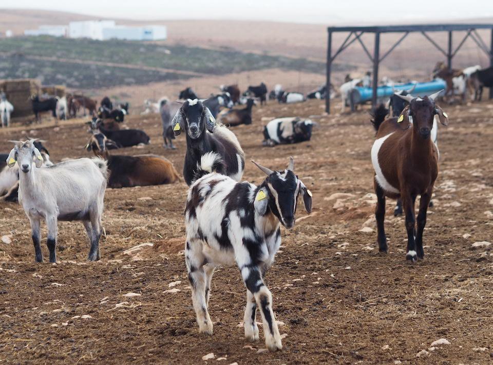 geitenboerderij bezoeken Tuineje